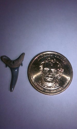 Zackary Taylor and free shark tooth