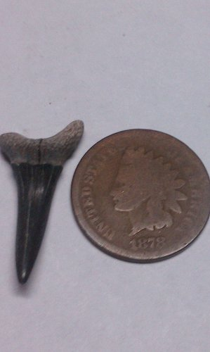 1878 Indian Head penny and tooth