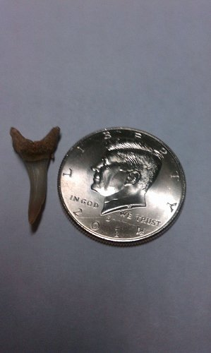 2014 D  Kennedy 50 cent piece and free skark tooth